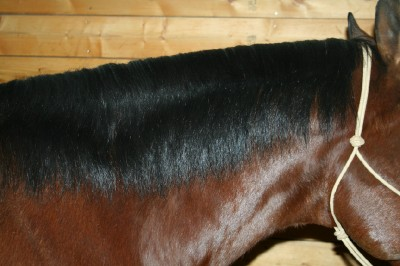 mane trimming without pulling horse bigcbit com agen